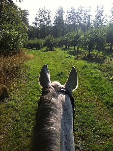 horseears